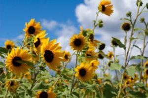 Sonnenblume Delphine Beau Soleil